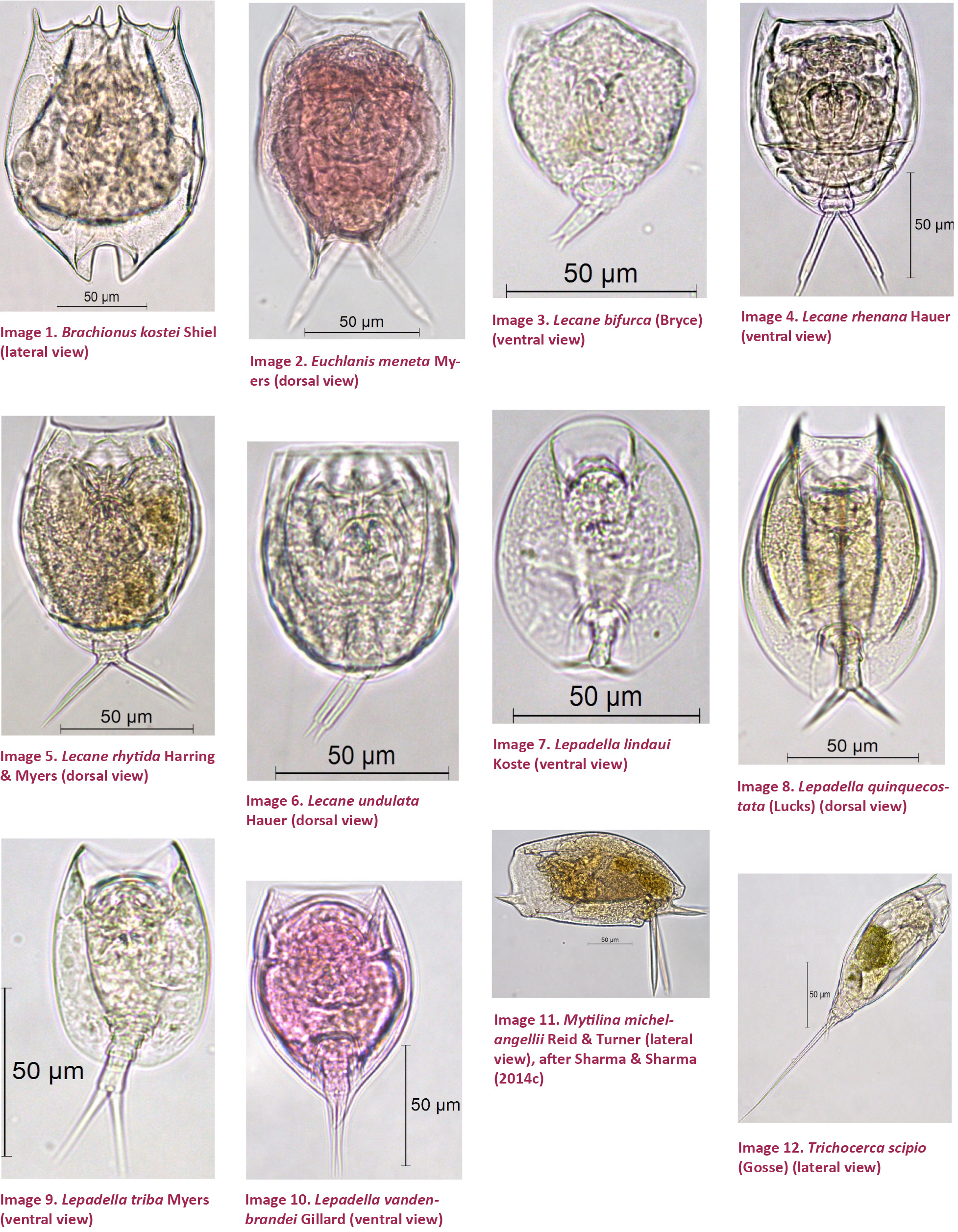 types of rotifers pictures to pin on pinterest pinsdaddy